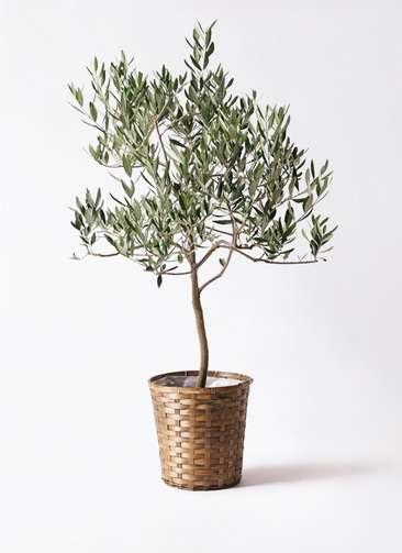 観葉植物 オリーブの木 8号 ハーディーズマンモス 竹バスケット 付き