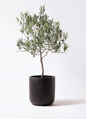 観葉植物 オリーブの木 8号 ハーディーズマンモス エルバ 黒 付き