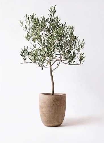 観葉植物 オリーブの木 8号 ハーディーズマンモス ルーガ アンティコ アルトエッグ 付き
