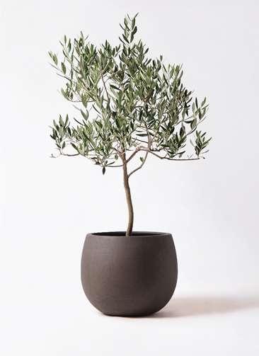 観葉植物 オリーブの木 8号 ハーディーズマンモス テラニアス ローバルーン アンティークブラウン 付き