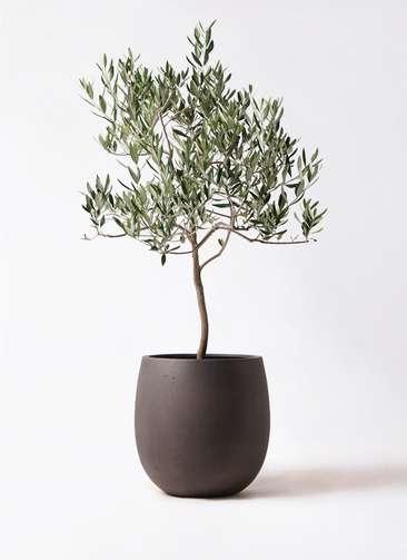 観葉植物 オリーブの木 8号 ハーディーズマンモス テラニアス バルーン アンティークブラウン 付き