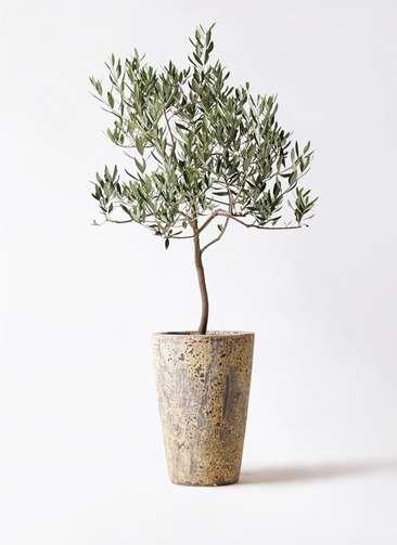 観葉植物 オリーブの木 8号 ハーディーズマンモス アトランティス クルーシブル 付き
