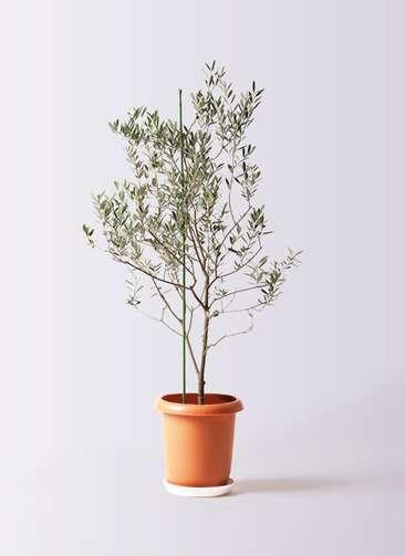 観葉植物 オリーブの木 8号 カリフォルニアクイーン プラスチック鉢