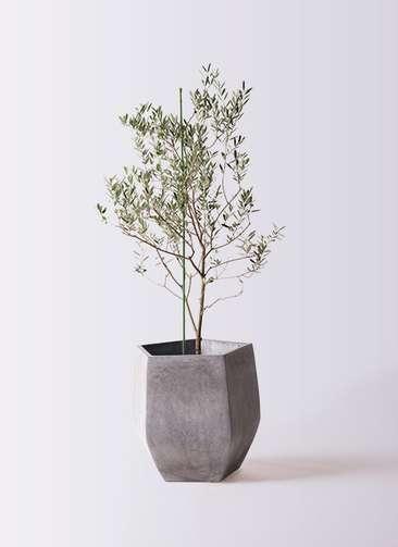 観葉植物 オリーブの木 8号 カリフォルニアクイーン ファイバークレイ Gray 付き