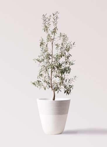 観葉植物 オリーブの木 10号 ワンセブンセブン ジュピター 白 付き