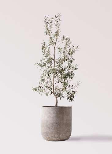観葉植物 オリーブの木 10号 ワンセブンセブン エルバ 白 付き