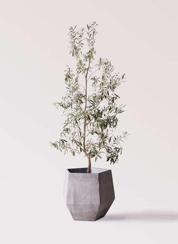 観葉植物 オリーブの木 10号 ワンセブンセブン ファイバークレイGray 付き
