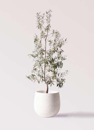 観葉植物 オリーブの木 10号 ワンセブンセブン エコストーンwhite 付き