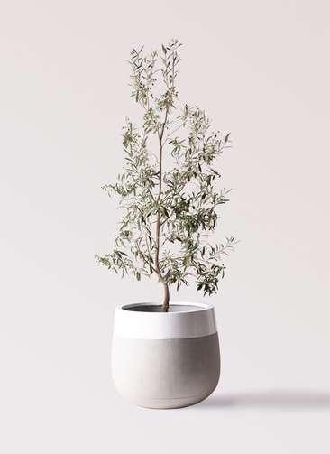 観葉植物 オリーブの木 10号 ワンセブンセブン ファイバーストーンタウルス ミドル 白 付き