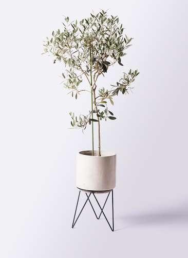 観葉植物 オリーブの木 8号 ワンセブンセブン ビトロ エンデカ 鉢カバースタンド付 クリーム 付き