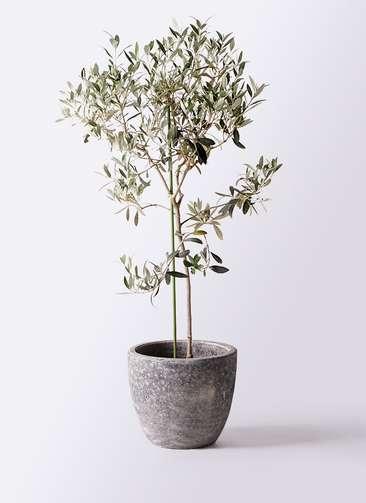 観葉植物 オリーブの木 8号 ワンセブンセブン アビスソニアミドル 灰 付き
