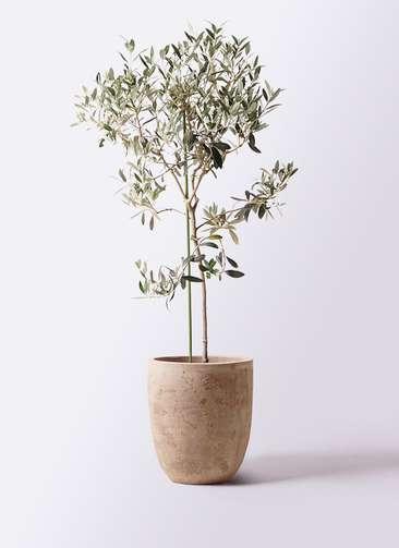 観葉植物 オリーブの木 8号 ワンセブンセブン ルーガ アンティコ アルトエッグ 付き