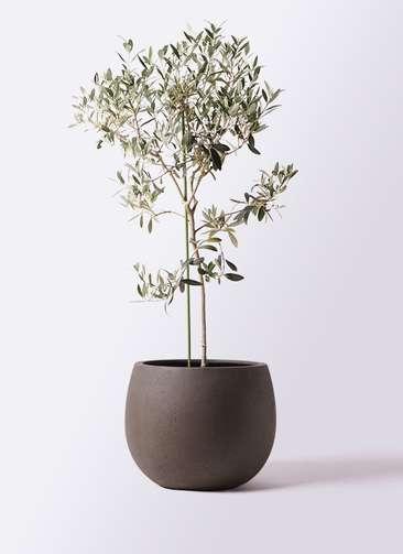 観葉植物 オリーブの木 8号 ワンセブンセブン テラニアス ローバルーン アンティークブラウン 付き