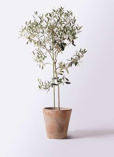 観葉植物 オリーブの木 8号 ワンセブンセブン ルーガ アンティコ ソリッド 付き