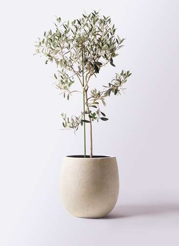 観葉植物 オリーブの木 8号 ワンセブンセブン テラニアス バルーン アンティークホワイト 付き