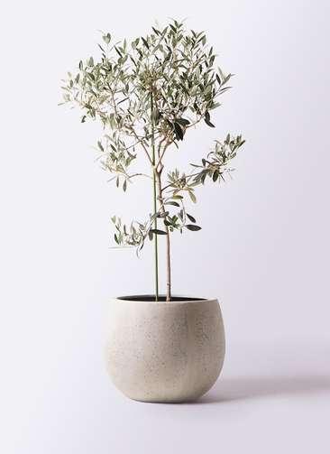 観葉植物 オリーブの木 8号 ワンセブンセブン テラニアス ローバルーン アンティークホワイト 付き