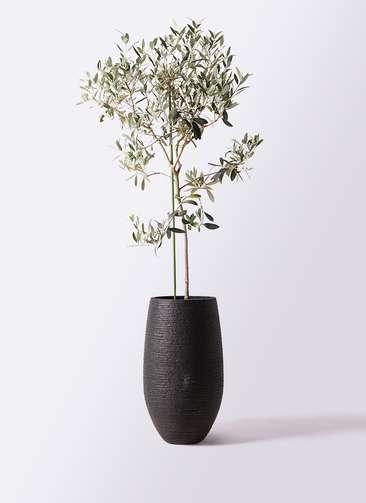 観葉植物 オリーブの木 8号 ワンセブンセブン フォンティーヌトール 黒 付き
