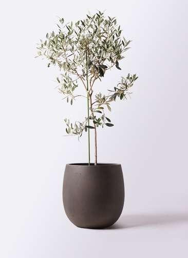 観葉植物 オリーブの木 8号 ワンセブンセブン テラニアス バルーン アンティークブラウン 付き