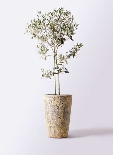 観葉植物 オリーブの木 8号 ワンセブンセブン アトランティス クルーシブル 付き