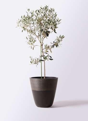観葉植物 オリーブの木 8号 ワンセブンセブン ジュピター 黒 付き