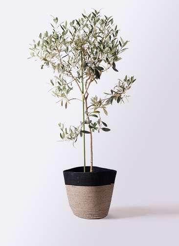 観葉植物 オリーブの木 8号 ワンセブンセブン リブバスケットNatural and Black 付き