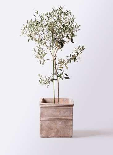 観葉植物 オリーブの木 8号 ワンセブンセブン テラアストラ カペラキュビ 赤茶色 付き