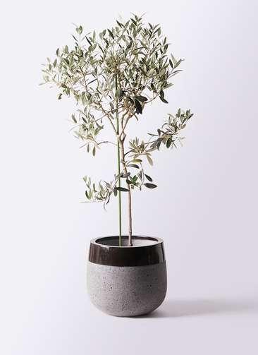 観葉植物 オリーブの木 8号 ワンセブンセブン ファイバーストーンタウルス 黒 付き