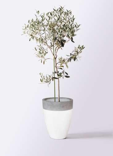 観葉植物 オリーブの木 8号 ワンセブンセブン ファイバーストーンカプリ 白 付き