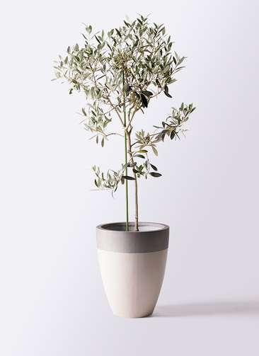 観葉植物 オリーブの木 8号 ワンセブンセブン ファイバーストーンカプリ サンディホワイト 付き