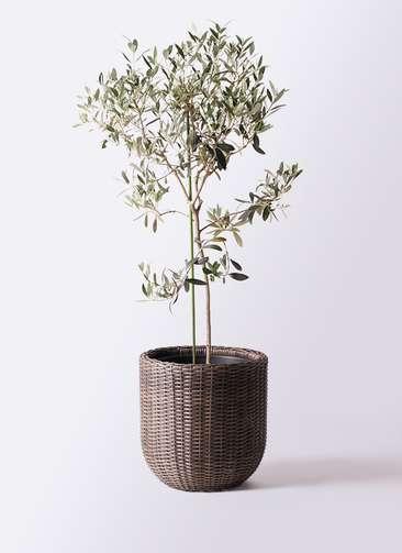 観葉植物 オリーブの木 8号 ワンセブンセブン ウィッカーポットエッグ 茶 付き