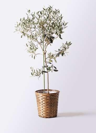 観葉植物 オリーブの木 8号 ワンセブンセブン 竹バスケット 付き