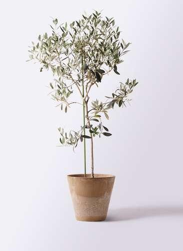 観葉植物 オリーブの木 8号 ワンセブンセブン アートストーン ラウンド ベージュ 付き