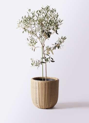 観葉植物 オリーブの木 8号 ワンセブンセブン ウィッカーポットエッグ ベージュ 付き