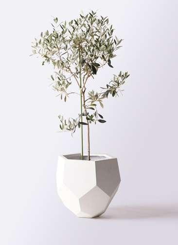 観葉植物 オリーブの木 8号 ワンセブンセブン ポリゴヘクサ 白 付き