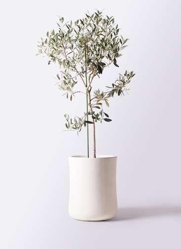 観葉植物 オリーブの木 8号 ワンセブンセブン バスク ミドル ホワイト 付き