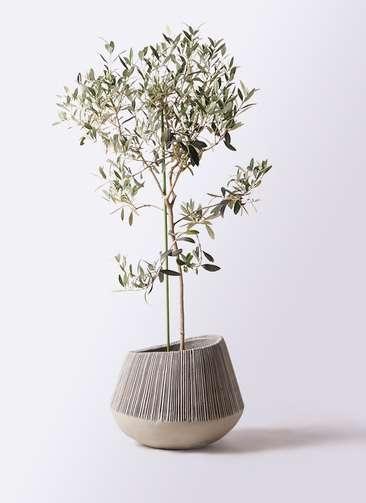 観葉植物 オリーブの木 8号 ワンセブンセブン エディラウンド グレイ 付き