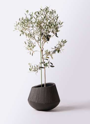 観葉植物 オリーブの木 8号 ワンセブンセブン エディラウンド 黒 付き