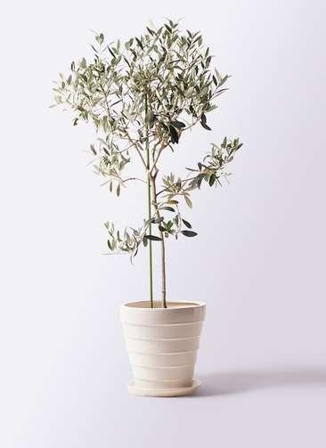 観葉植物 オリーブの木 8号 ワンセブンセブン サバトリア 白 付き