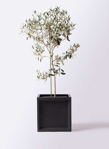 観葉植物 オリーブの木 8号 ワンセブンセブン ブリティッシュキューブ 付き
