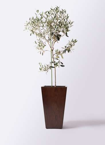 観葉植物 オリーブの木 8号 ワンセブンセブン MOKU スクエア 付き