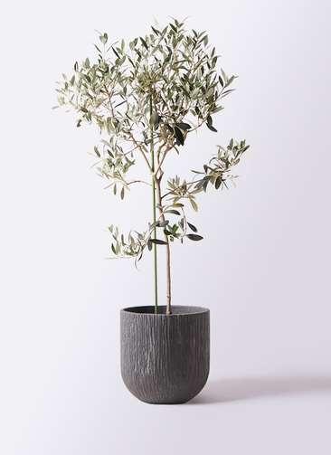 観葉植物 オリーブの木 8号 ワンセブンセブン カルディナダークグレイ 付き