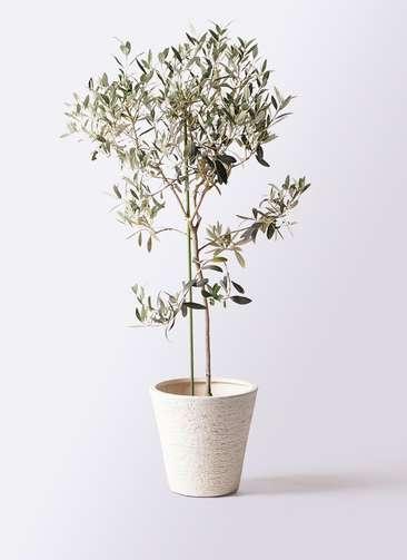 観葉植物 オリーブの木 8号 ワンセブンセブン ビアスソリッド 白 付き