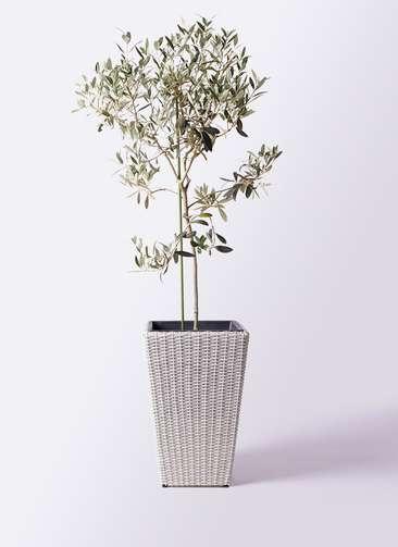 観葉植物 オリーブの木 8号 ワンセブンセブン ウィッカーポット スクエアロング OT 白 付き