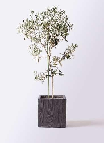 観葉植物 オリーブの木 8号 ワンセブンセブン ベータ キューブプランター ウッド 茶 付き
