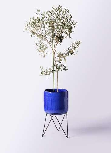 観葉植物 オリーブの木 8号 ワンセブンセブン ビトロ エンデカ 鉢カバースタンド付 ブルー 付き