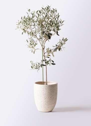 観葉植物 オリーブの木 8号 ワンセブンセブン ビアスアルトエッグ 白 付き