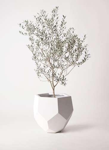 観葉植物 オリーブの木 8号 カヨンヌ ポリゴヘクサ 白 付き