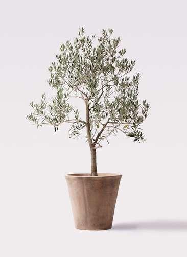 観葉植物 オリーブの木 10号 ピッチョリーネ ルーガ アンティコ ソリッド 付き