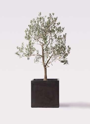 観葉植物 オリーブの木 10号 ピッチョリーネ ファイバークレイ キューブ 付き