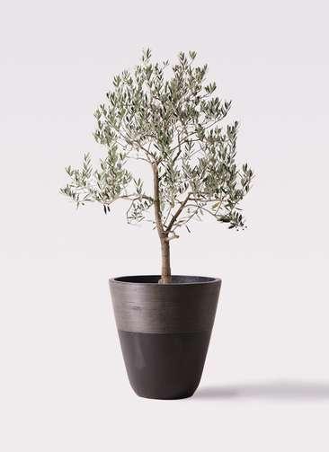 観葉植物 オリーブの木 10号 ピッチョリーネ ジュピター 黒 付き